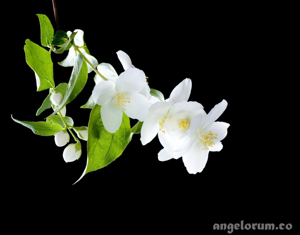 Magical jasmine essential oil jasmine flowers magical properties izmirmasajfo