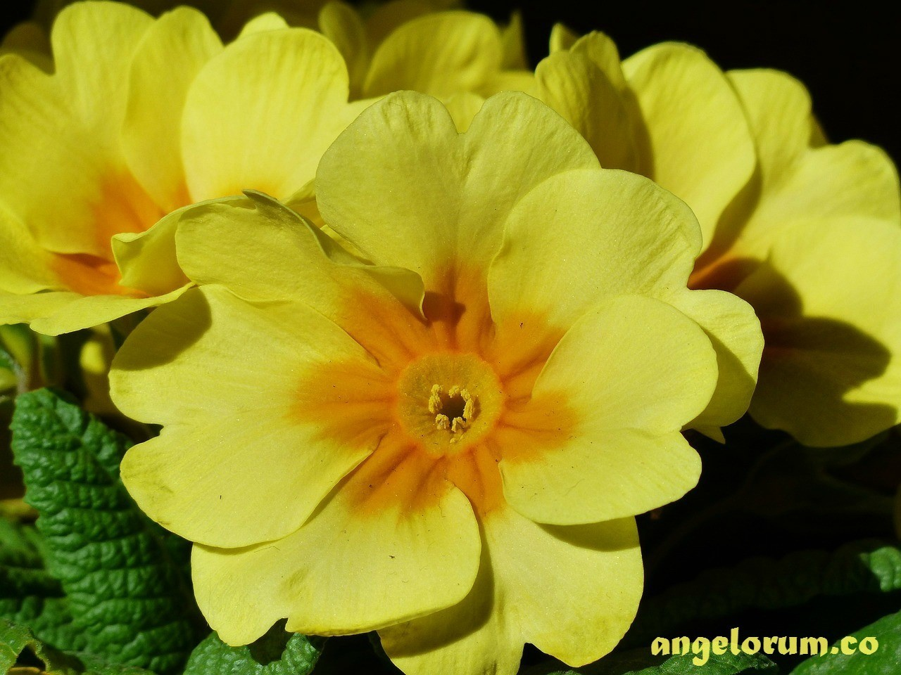 magickal uses for primrose