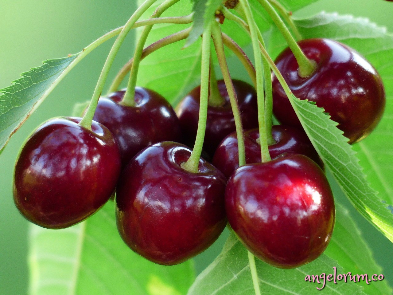 cherry tree - by the fruit shall ye know the tree